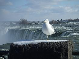 picture of Seagull at brink of Niagara Falls